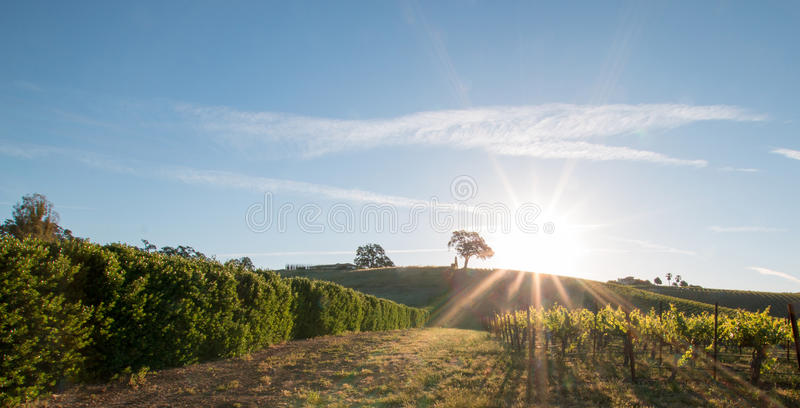 Early morning sun shining next to Valley Oak tree on hill in Paso Robles wine country in the Central Valley of California USA royalty free stock photography