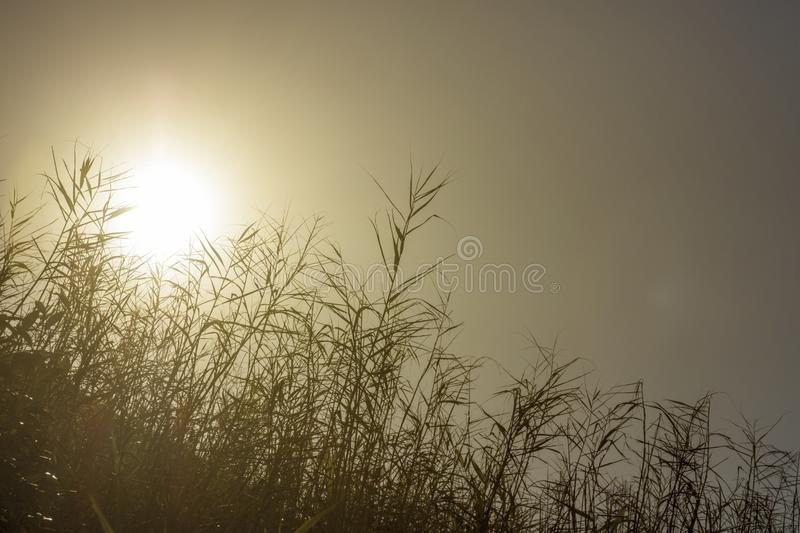 Early morning sun shining through reeds. Amazing early morning sun shining through reeds growing next to water causing a silhoutte royalty free stock photos