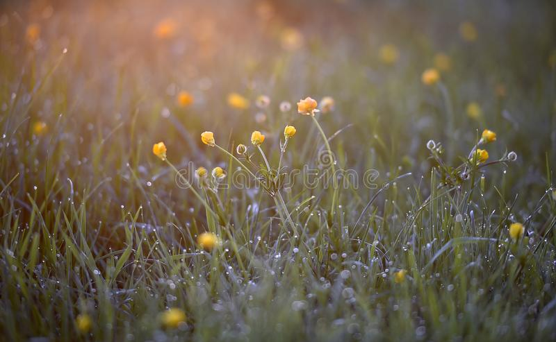 Early morning sunhine shines on a field of Buttercups royalty free stock images