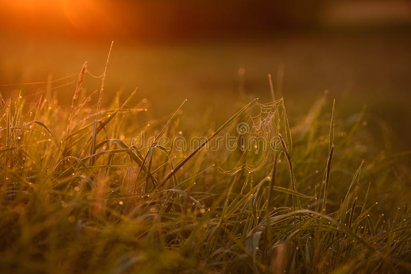 Early morning on the tips of the grass. Early morning. The rising of the sun. Warm light shimmers in the dewdrops of the field grass entangled in a thin network stock images
