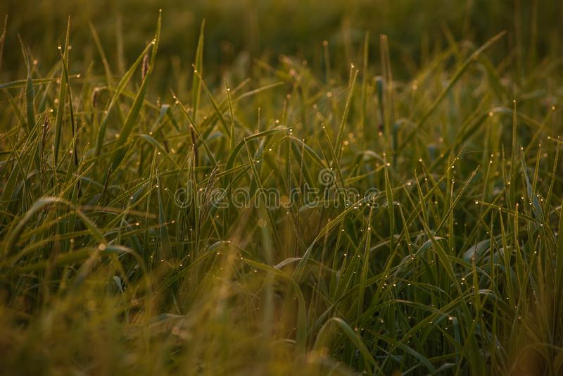 Early morning on the tips of the grass. Early morning. The rising of the sun. Warm light shimmers in the dewdrops of the field grass entangled in a thin network royalty free stock photo