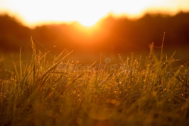 Early morning on the tips of the grass. Early morning. The rising of the sun. Warm light shimmers in the dewdrops of the field grass entangled in a thin network royalty free stock image