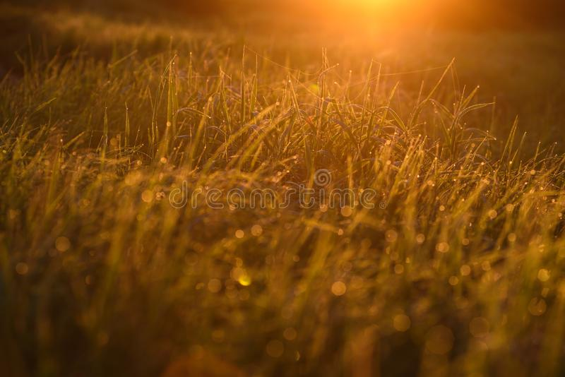 Early morning on the tips of the grass. Early morning. The rising of the sun. Warm light shimmers in the dewdrops of the field grass entangled in a thin network royalty free stock photography