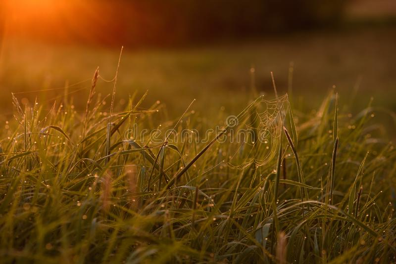 Early morning on the tips of the grass. Early morning. The rising of the sun. Warm light shimmers in the dewdrops of the field grass entangled in a thin network stock image