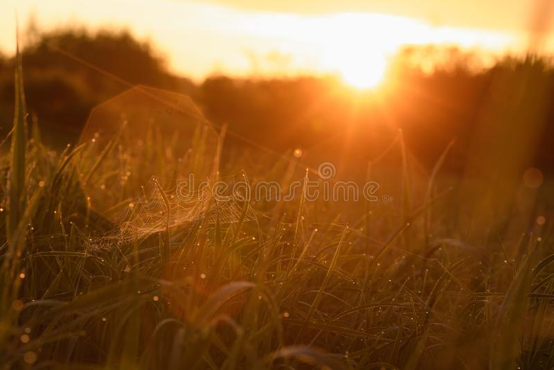 Early morning on the tips of the grass. Early morning. The rising of the sun. Warm light shimmers in the dewdrops of the field grass entangled in a thin network royalty free stock images