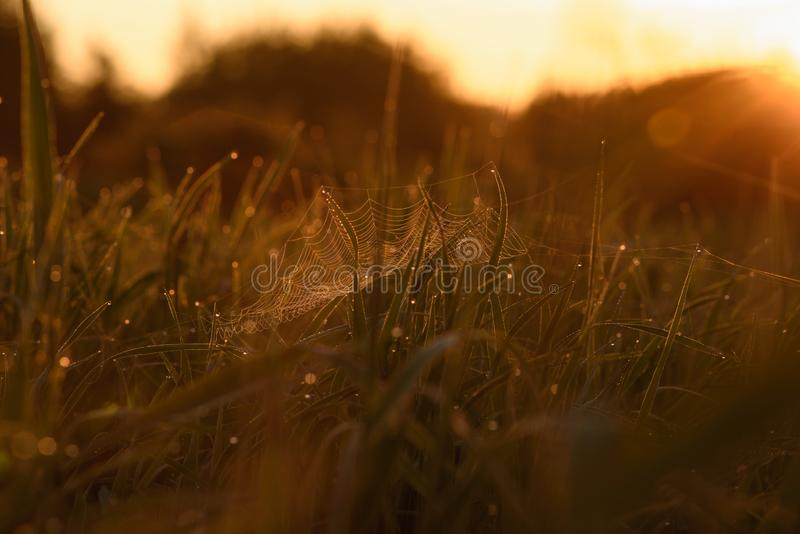 Early morning on the tips of the grass. Early morning. The rising of the sun. Warm light shimmers in the dewdrops of the field grass entangled in a thin network stock photo