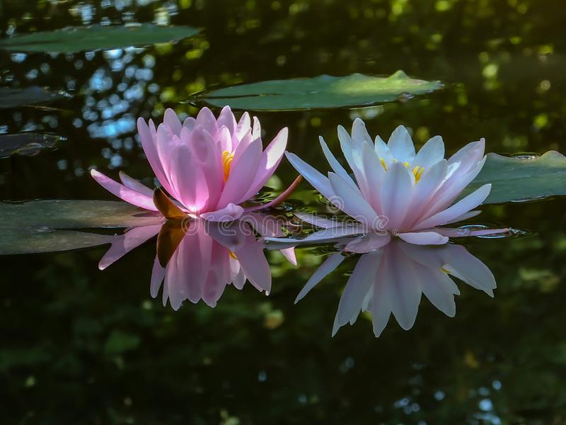 Early morning of two water lily or lotus flower Marliacea Rosea. Pink and white nymphaeas glow with a clear reflection in the blac royalty free stock photos