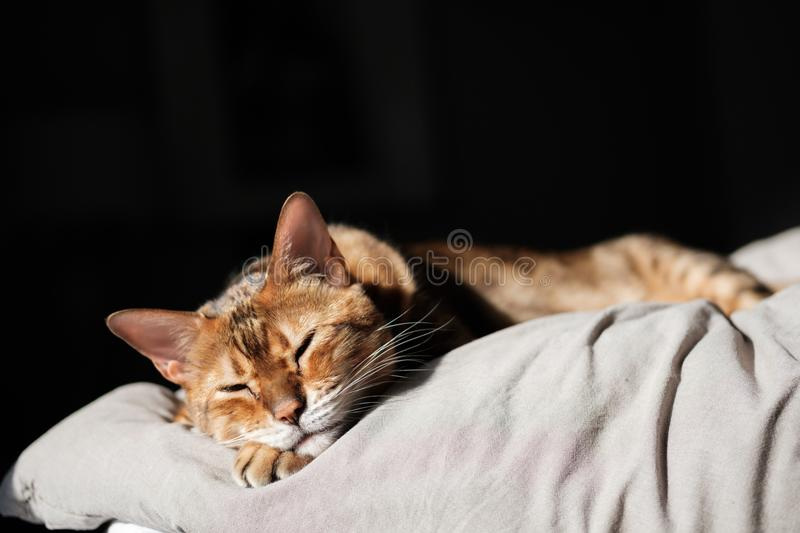 A beautiful brown Bengal cat sleeping in bed and morning sunrise shines. royalty free stock photography
