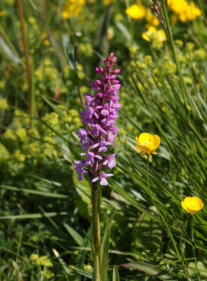 Early Purple Orchid royalty free stock photos