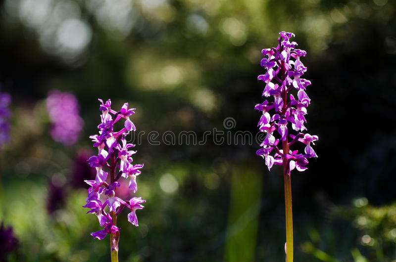 Download Early purple wild flower stock image. Image of plain - 33579197
