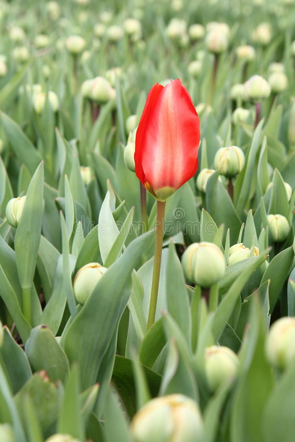 Early red tulip in a field stock image