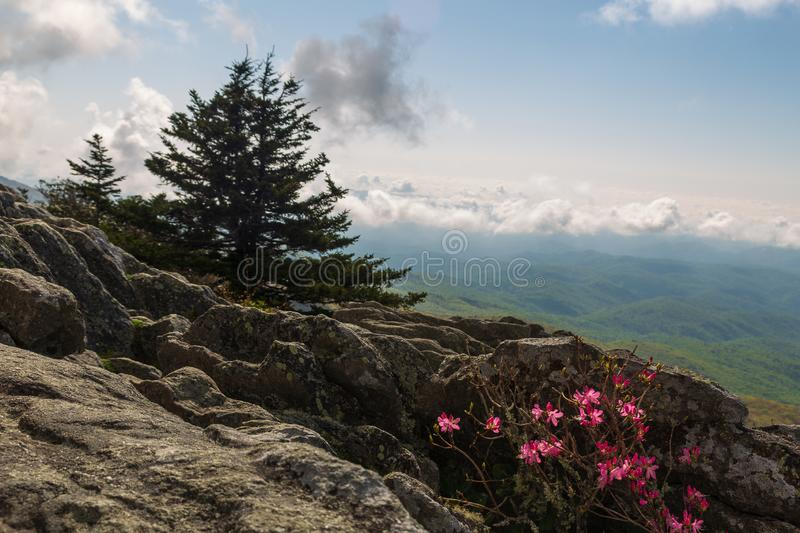 Early spring azaleas on the top of Grandfather Mountain in North Carolina stock photos