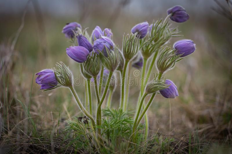 Early spring beautiful flowers is the Black or Small Pasqueflower - Pulsatilla pratensis ssp. nigricans, Hungary stock photos