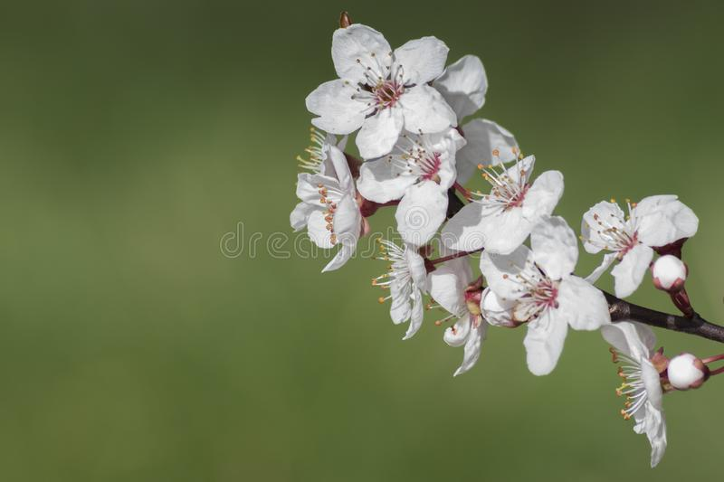 Download Early Spring Blossom On A Green Background Stock Image - Image of hampshire, blossom: 112354295