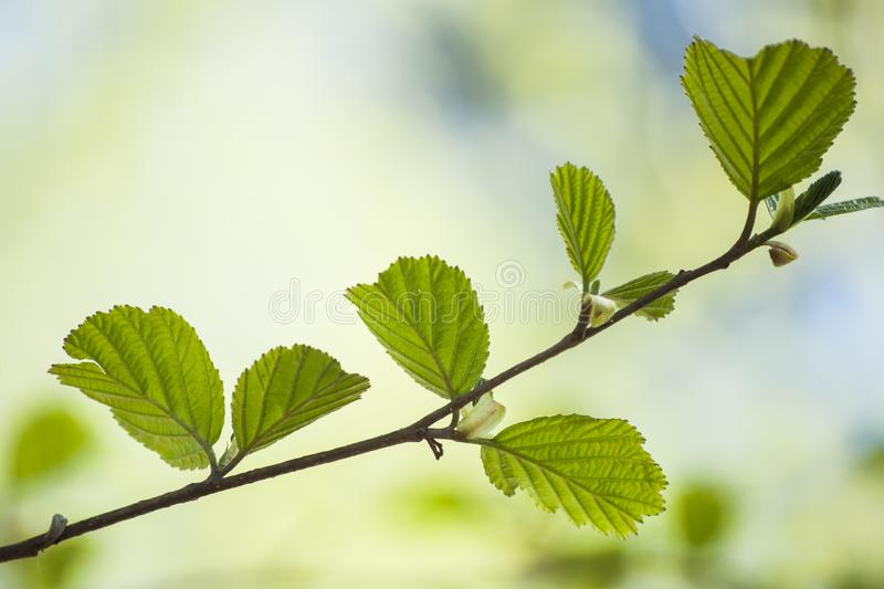 Early spring and first fresh green leaves of alder tree branch in sunlight stock photos
