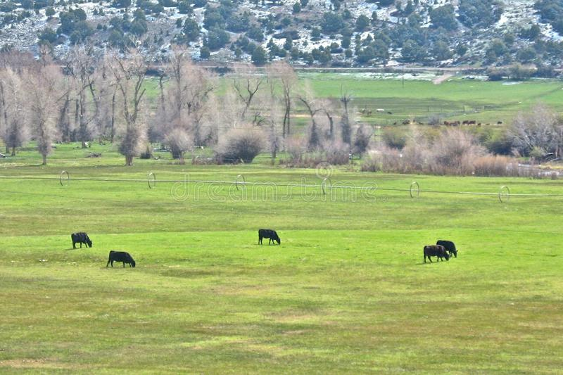Five Cattle in a Ring Graze on the Green stock photography
