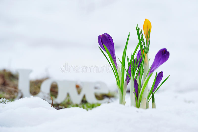 Early spring flowers and love sign stock image image of frost download early spring flowers and love sign stock image image of frost closeup mightylinksfo