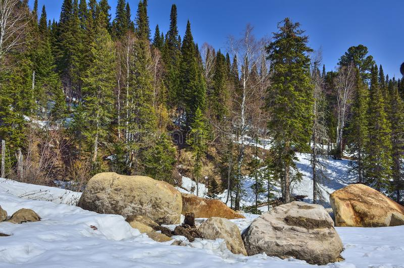 Early spring in mountain coniferous forest stock photography