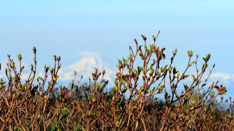 Early spring in the mountains, shoots and tiny green leaves on the bushes. Springtime natural background royalty free stock photography
