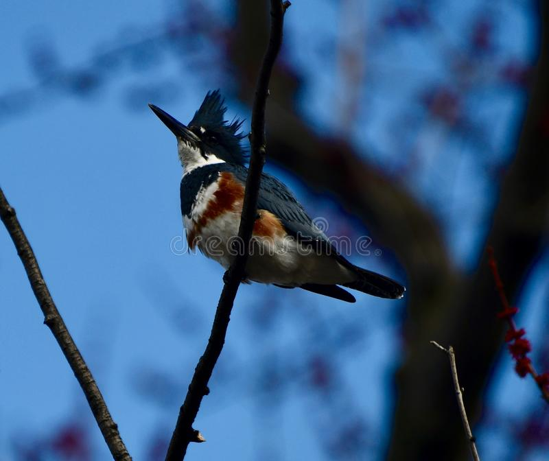 Belted Kingfisher #2. This is an early Spring picture of a Belted Kingfisher perched on a Branch along the South Pond in Lincoln Park located in Chicago royalty free stock photography
