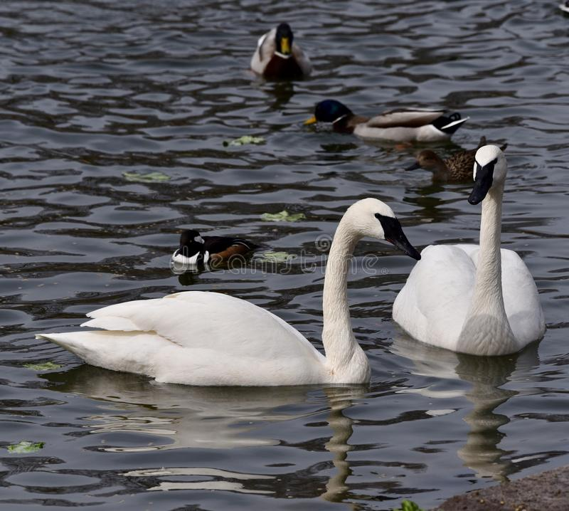 Trumpeter Swans. This is an early Spring picture of a pair of Trumpeter Swans in their compound's Pond at the Lincoln Park Zoo located in Chicago royalty free stock photography
