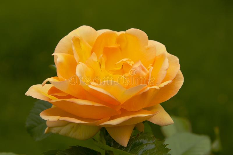 Orange blooming rose with green background. Early spring single blooming orange rose against a dark green background stock photography