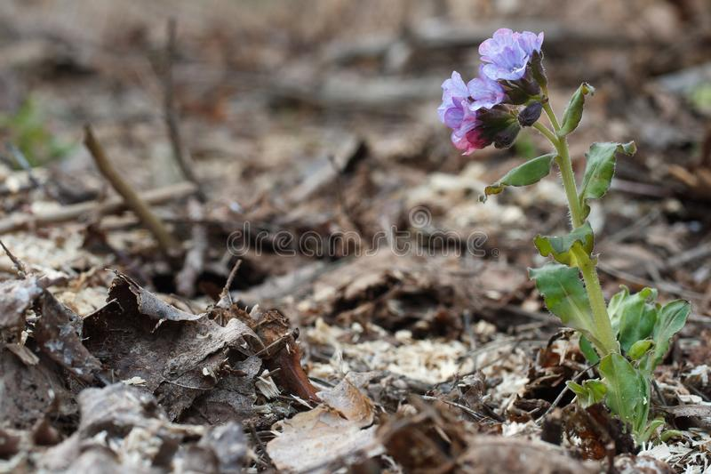 Early spring small Pulmonaria obscura flower stock photography