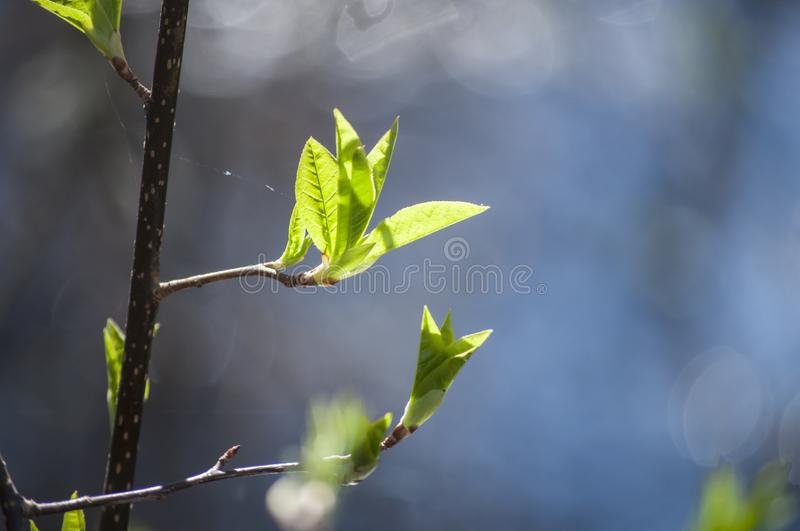 Early spring and first fresh green leaves of bird cherry branches in sunlight and blue water of lake on background stock photos