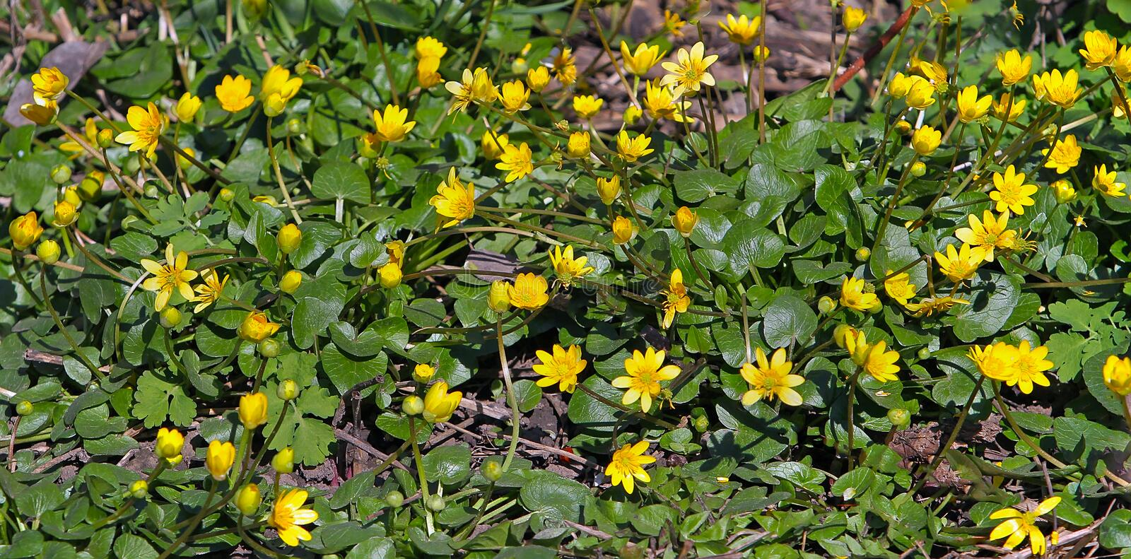 Early spring yellow flowers look shiny, as if varnished. Buttercup, Spring on Ficaria verna Latin herb. stock images