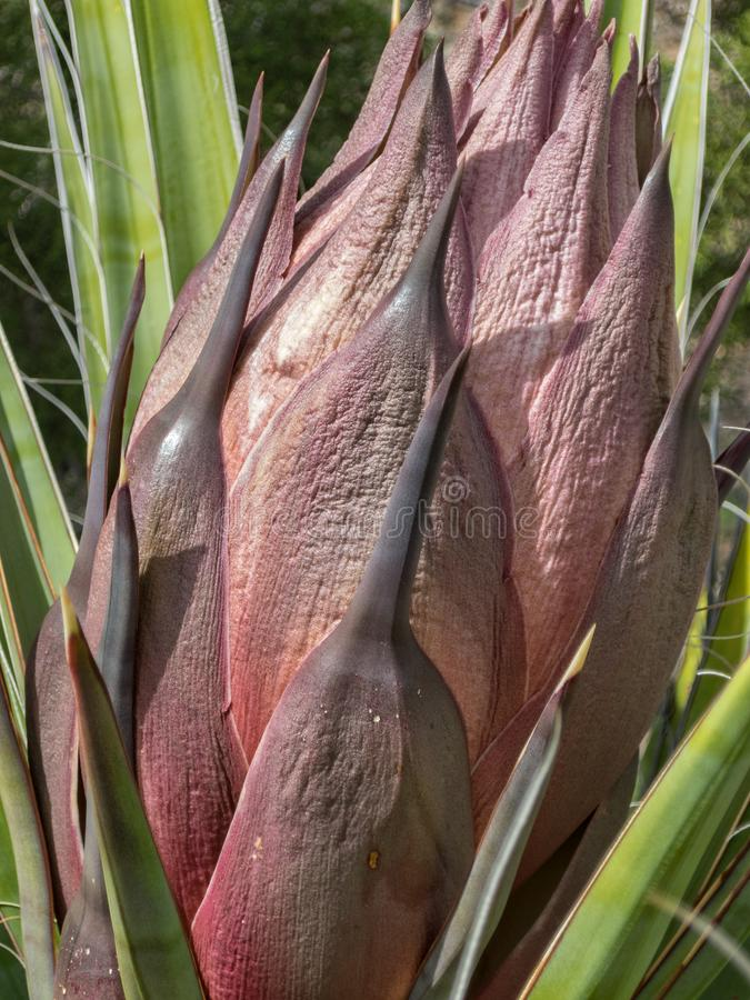 Yucca plant, preparing to bloom. Early Spring, Yucca plant before blossoming royalty free stock image