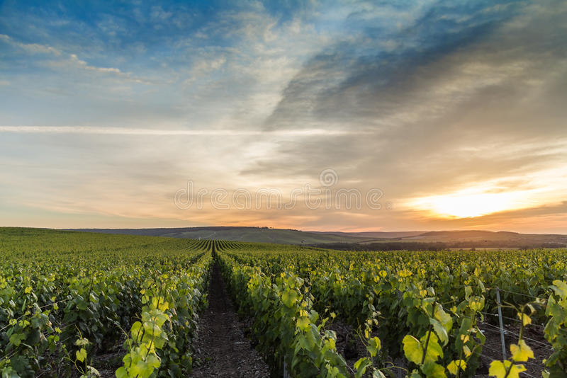 Early summer morning in Champagne, France royalty free stock photo