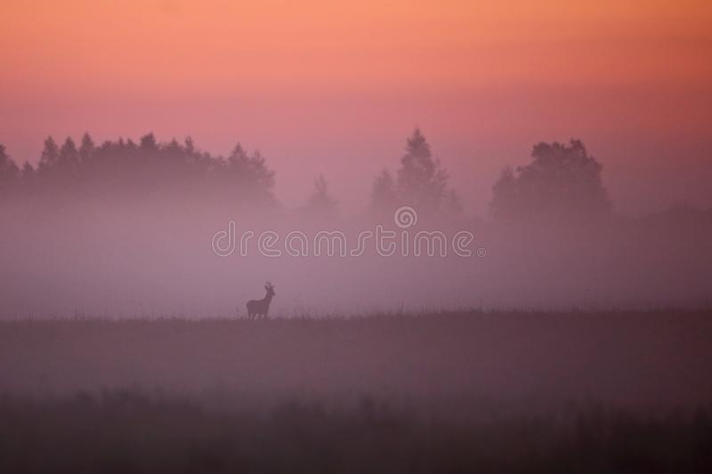 Early summer morning foggy landscape wit roe deer. Early summer morning before sunrise. Fog laying on the ground. Lonely Roe Deer stock photo