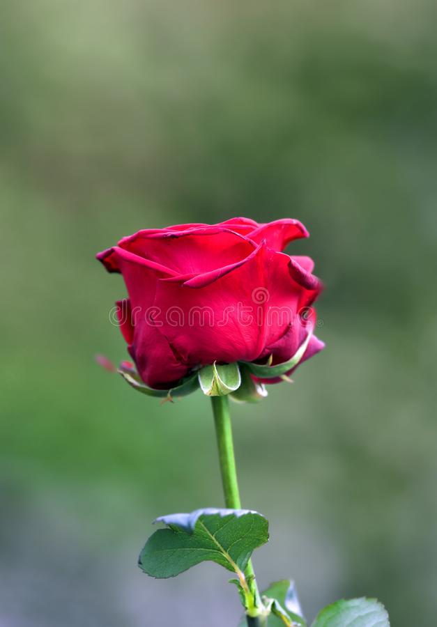 Early summer rose royalty free stock image