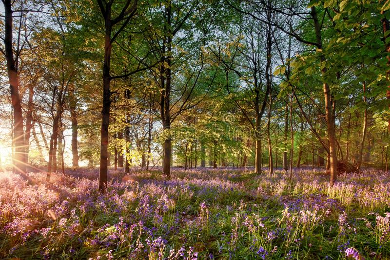 Early sunrise in English bluebell forest. English bluebell woodland with stunning sunrise light shining through the trees. Purple wild spring flowers landscape stock photography