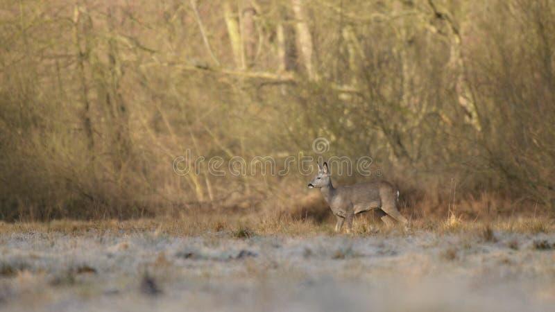 Roe deer in the wild stock image