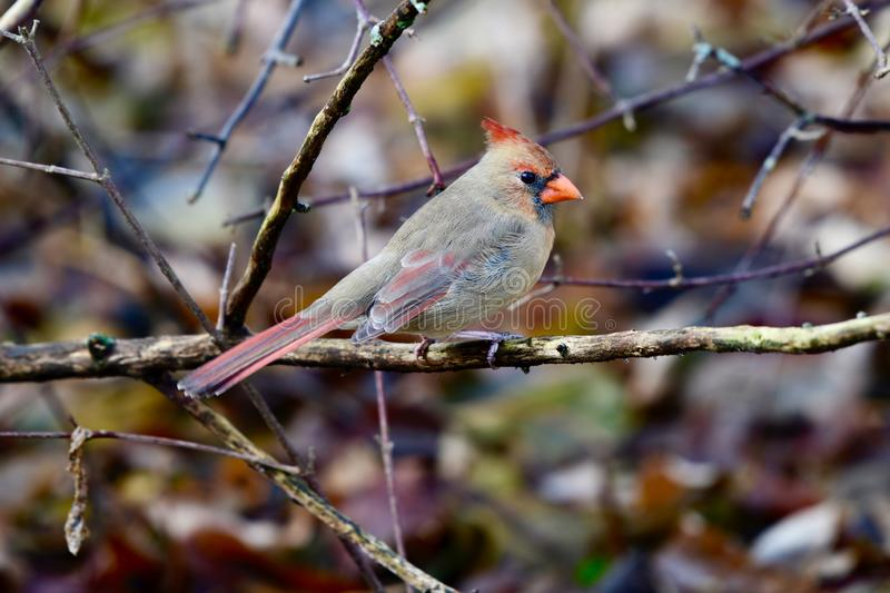Female Northern Cardinal. This is an early Winter picture of a female Northern Cardinal perched on a Branch in the Montrose Point Bird Sanctuary located in stock photo