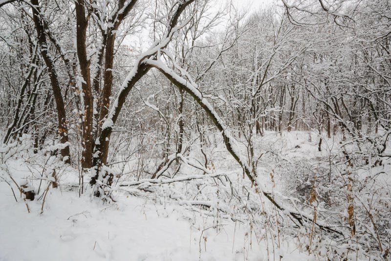 Early of winter. Tales winter trees on snow in ukraine stock images