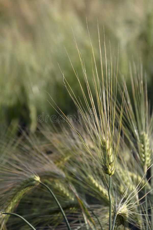 Download Ears Of Barley With Long Awns In A Field Close Up Shot Stock Image