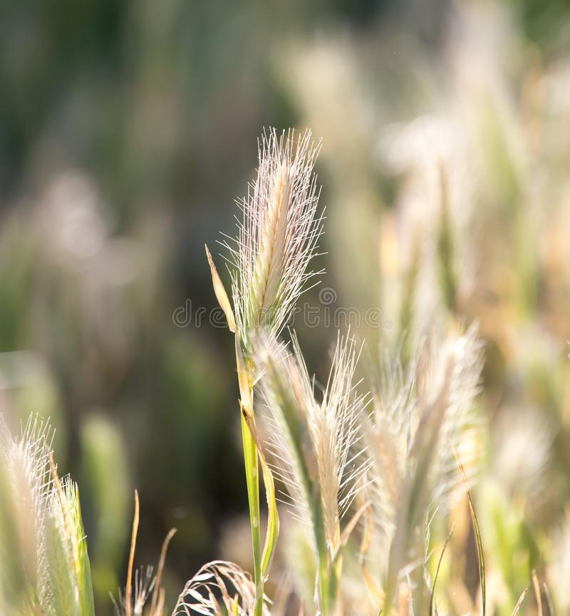 Ears of corn on the grass stock photography