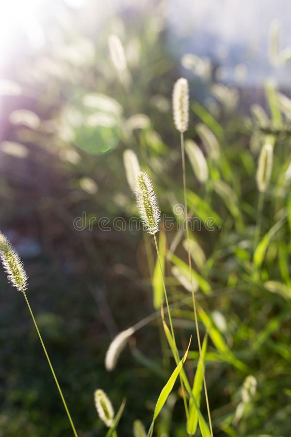 Ears of corn on the green grass royalty free stock image
