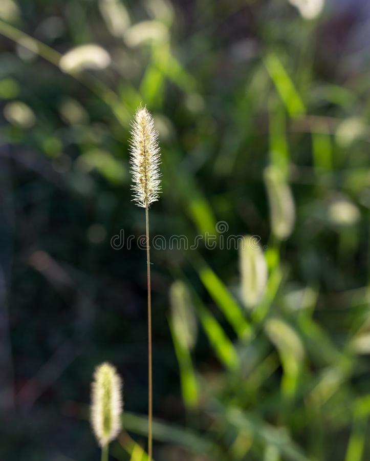 Ears of corn on the green grass stock photos
