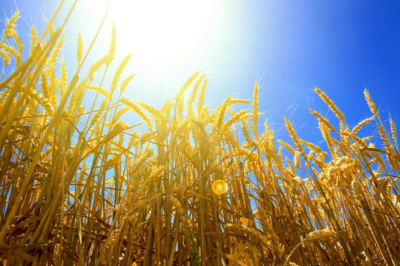 Ears of golden wheat against the backdrop of a bright blue sky lit by the rays of a hot summer sun stock images