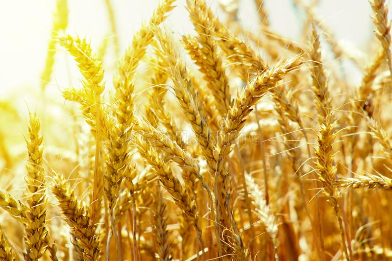 Ears of golden wheat against the background of the passing sun at sunset of the day in the midst of summer harvest stock photo
