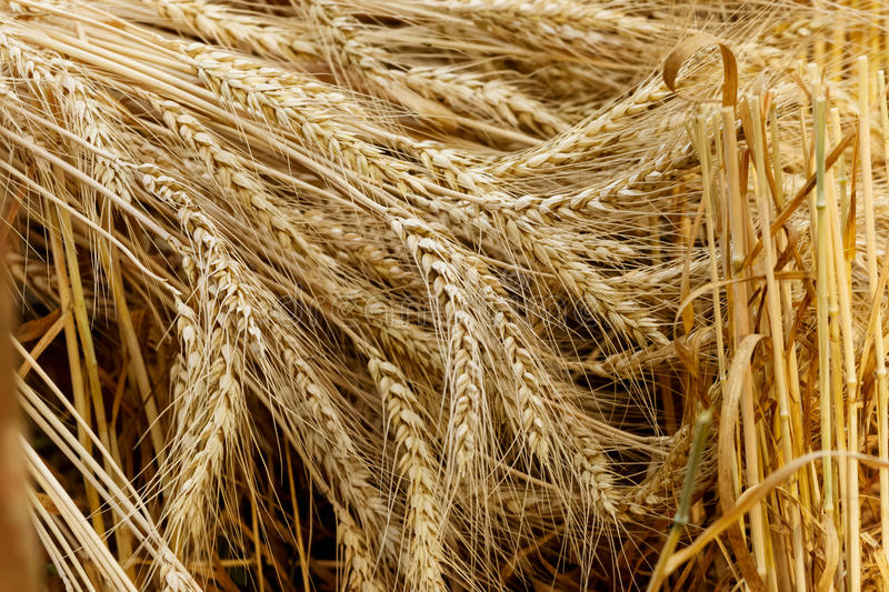 Ears of golden wheat close up. Harvest Concept royalty free stock image
