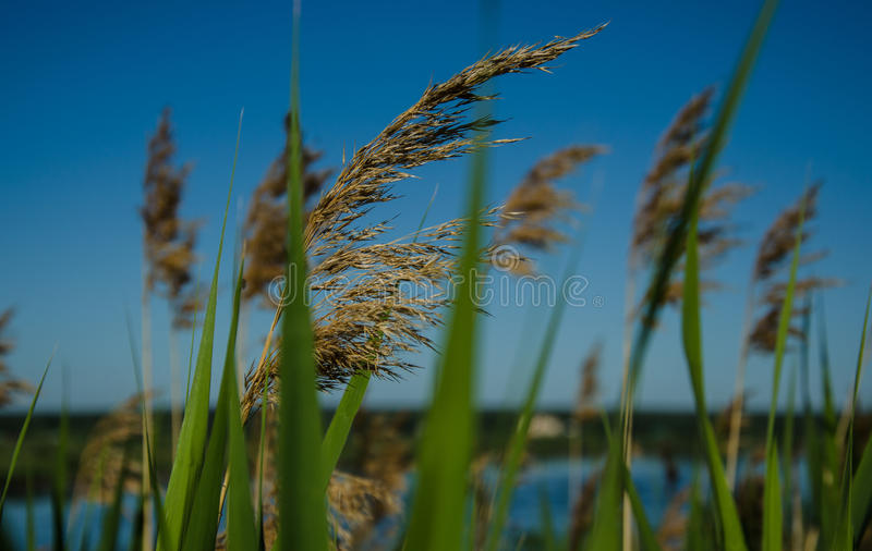 Ears with grass against the sky stock photography