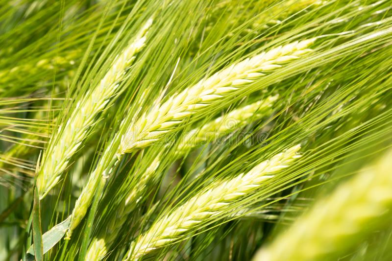 Ears of green wheat stock photos