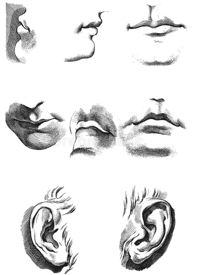 Ears. Lips. Anatomy And Proportions Stock Vector - Illustration of ...