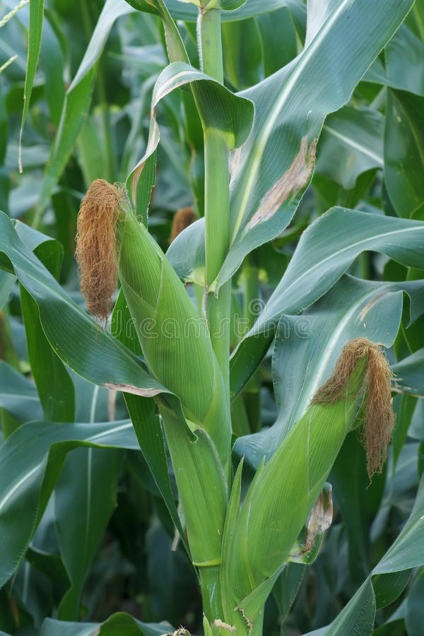 Download Ears of maize stock image. Image of cultivated, ears - 39583113