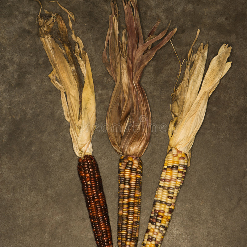 Ears of multicolored corn royalty free stock photography