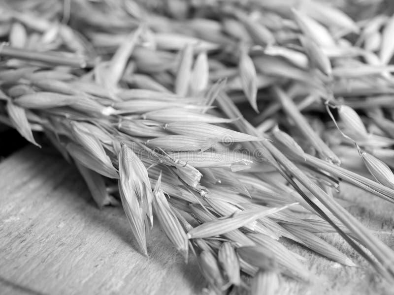 Ears of oat stock photo